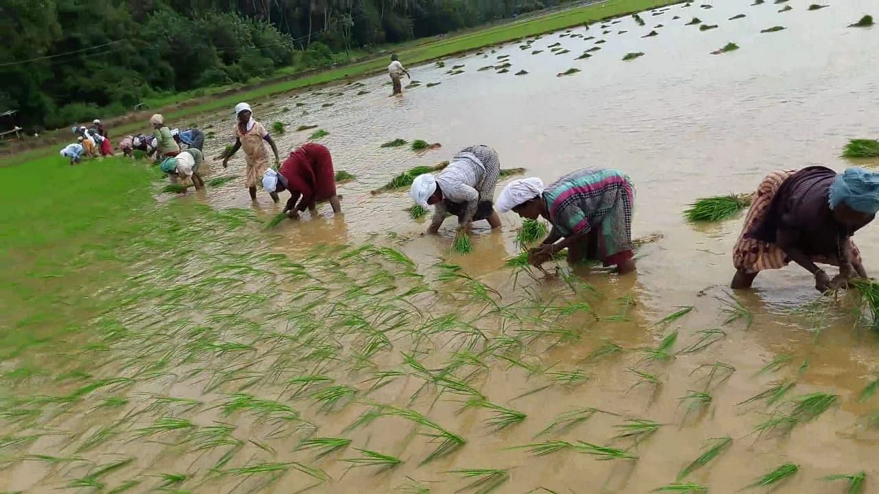 Paddy being plated in 150 acres in Vengara, Malappuram