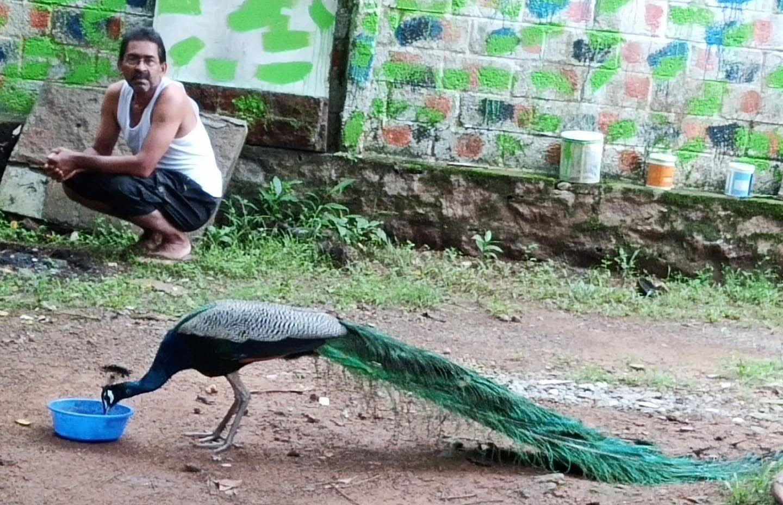 A male peacock at Varkey Veliyath's park