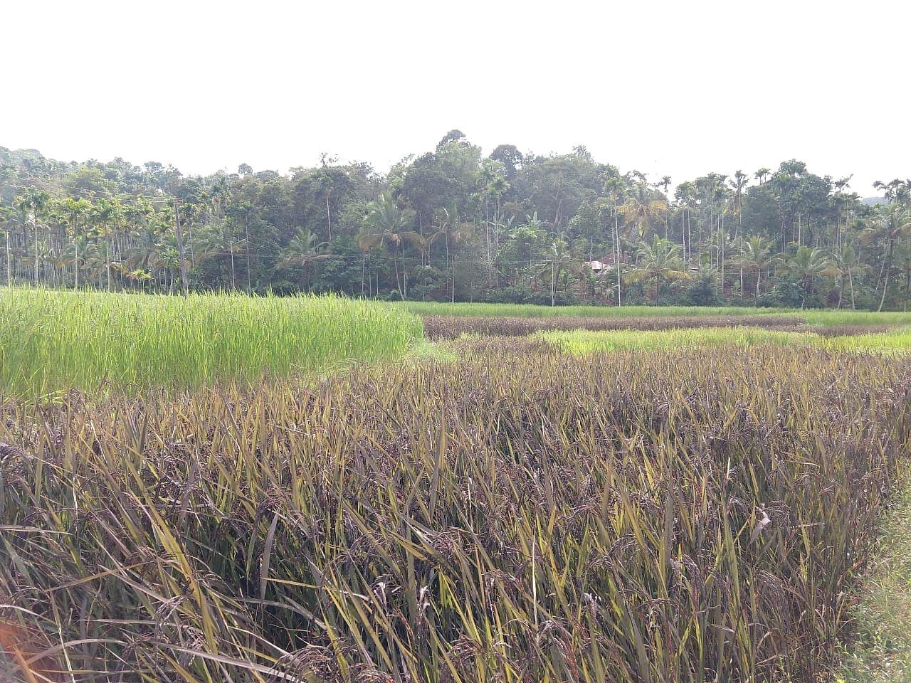 Organic Black rice farm in Wayanad