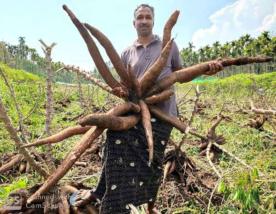 Roy Antony with huge tapioca grown in his farm
