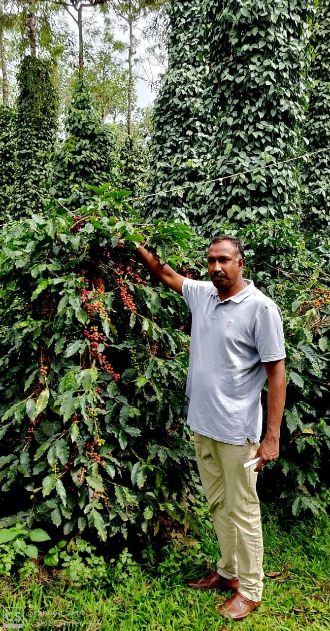 Roy Antony shows the high yielding Roy's Selection Arabica Cofee
