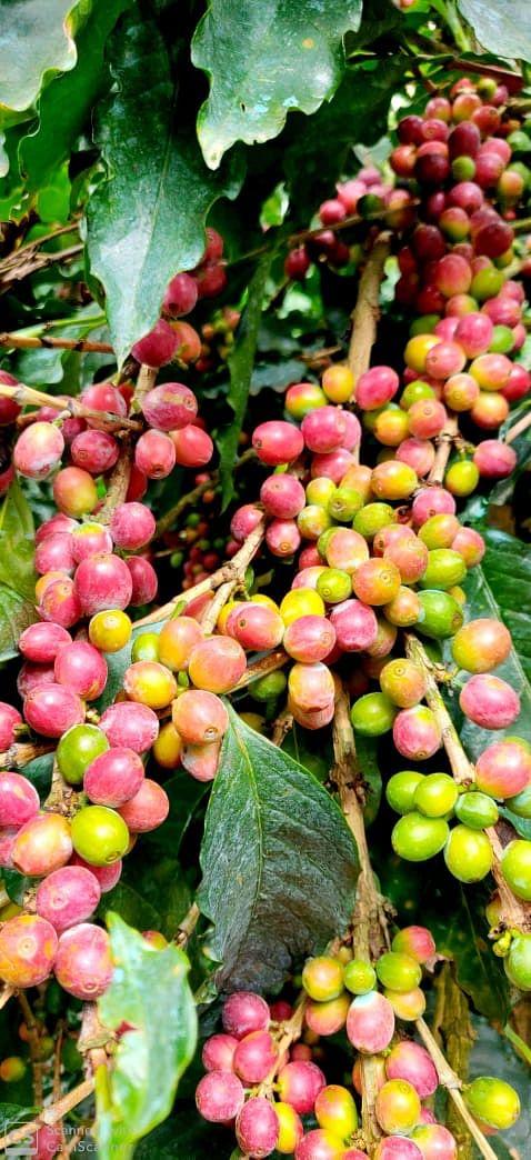 Roy's selection Arabica Coffee